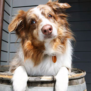 Bluey - Winery Dog at Summerland Winery