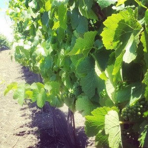 Expecting a Fantastic Grape Harvest!