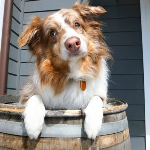 Remembering Bluey—Our Original Summerland Wine Dog